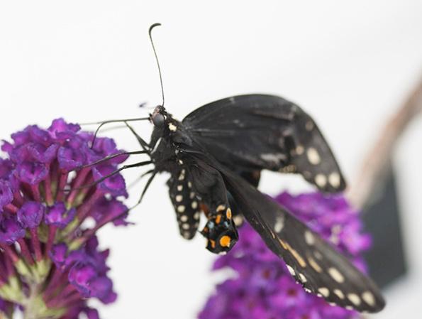 Swallowtail Sept 21