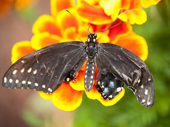 Swallowtail Sept 27