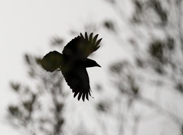 Crow Nov 9