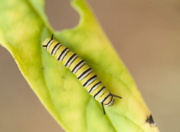 Monarch Caterpillar Sept 27