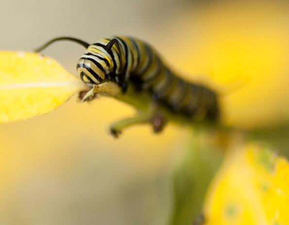 Monarch Caterpillar Sept 28