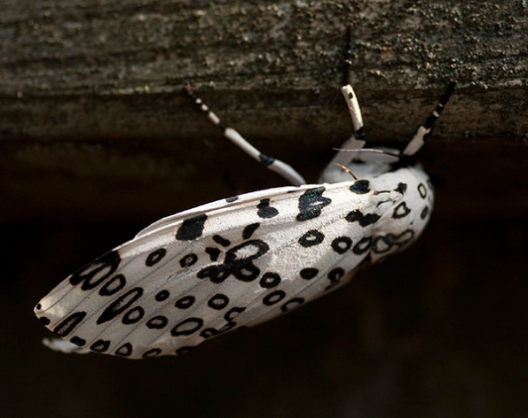 Moth Sept 17