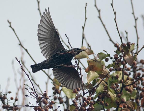 Starling Dec 24