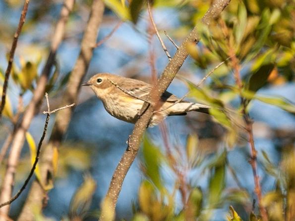 Warbler Nov 16