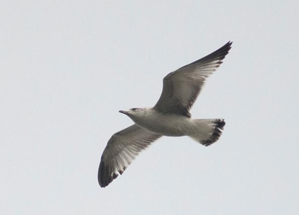 Seagull Jan 8