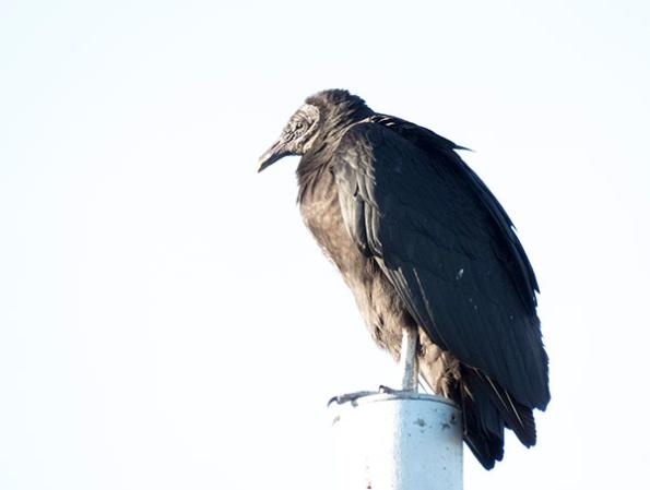 Vulture Feb 14