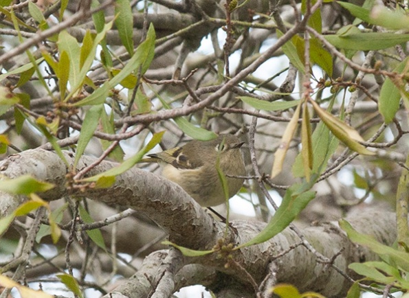 Ruby crowned Kinglet March 13