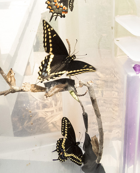 Swallowtail March 14