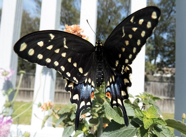 Swallowtail March 23