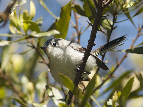 Blue gray Gnatcatcher April 13