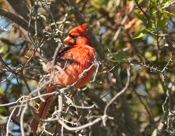Cardinal April 20