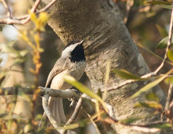 Chickadee April 19