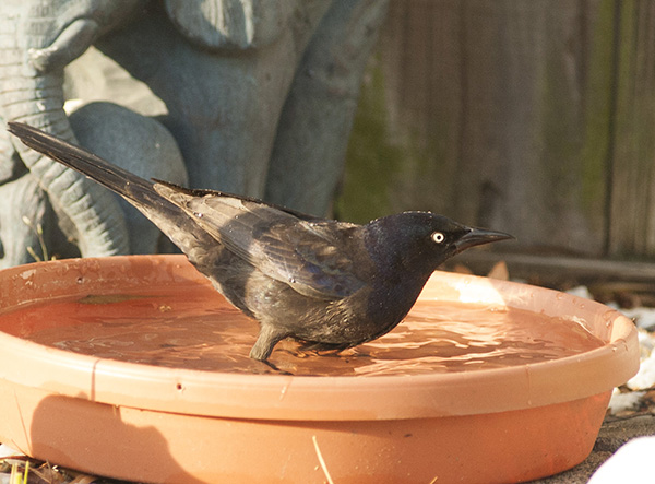 Grackle April 19