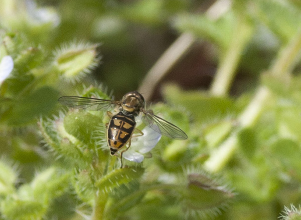 Hoverfly March 15
