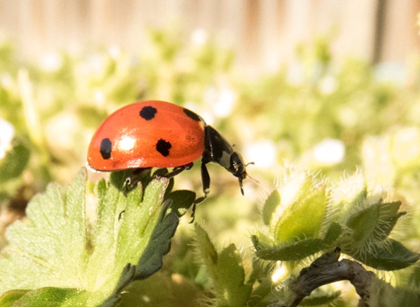 Ladybird March 16