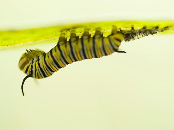 Monarch Caterpillar Sept 27