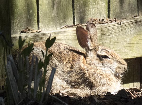 Rabbit April 16