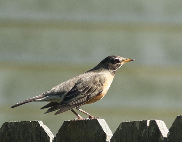 Robin April 20