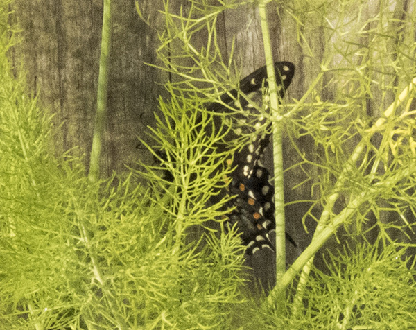 Swallowtail April 19