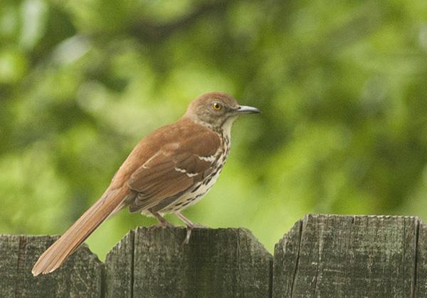 Brown Thrasher May 3