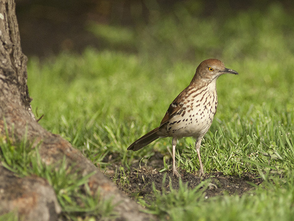 Brown Thrasher May 3