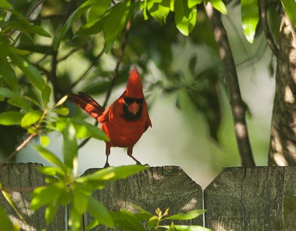 Cardinal May 23