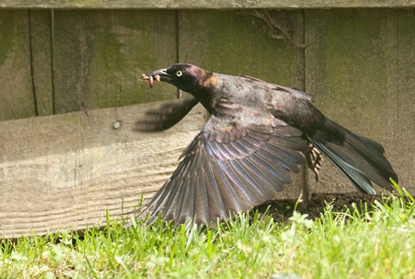 Grackle May 20