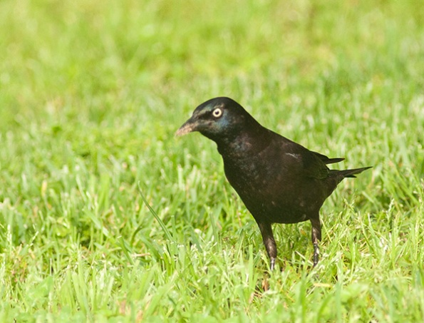 Grackle May 3