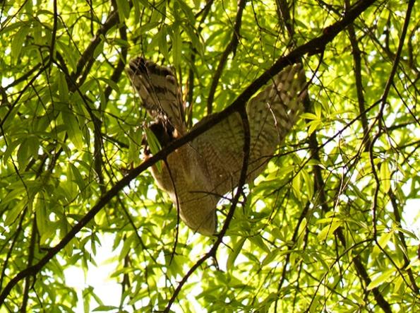 Hawk April 30