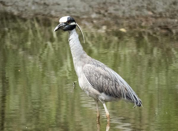 Heron May 7