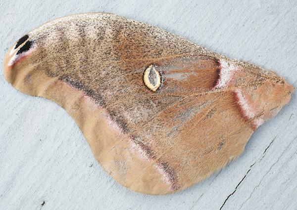 Moth Wing May 3