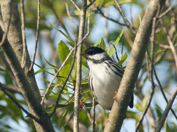 Unknown Warbler May 23