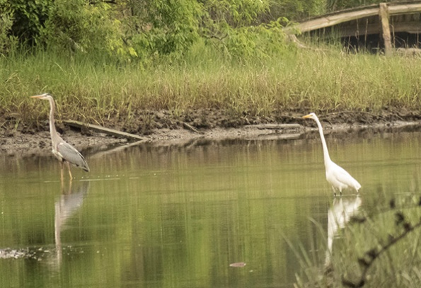 Heron and Egret May 21