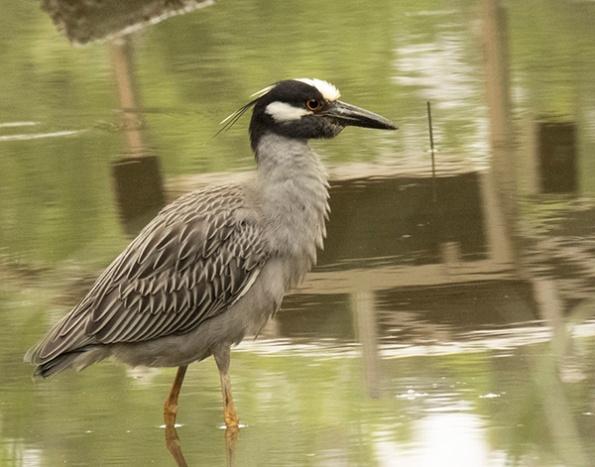 Heron May 21