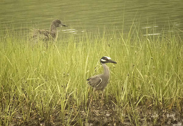Night Heron and Juvenile June 2
