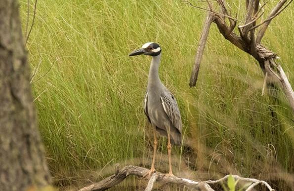 Night Heron June 2