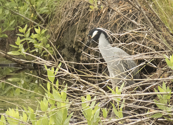 Night Heron June 2
