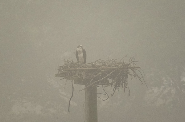 Osprey June 2