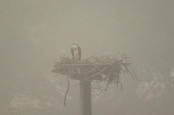 Osprey June 2