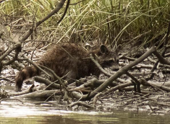 Raccoon May 21