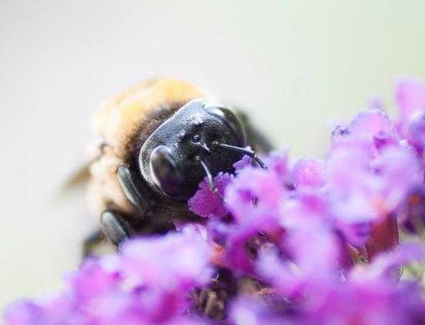 Carpenter Bee July 16