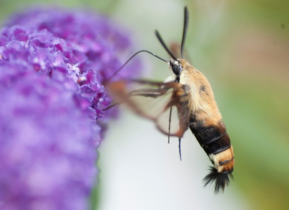 Clearwing Moth July 16