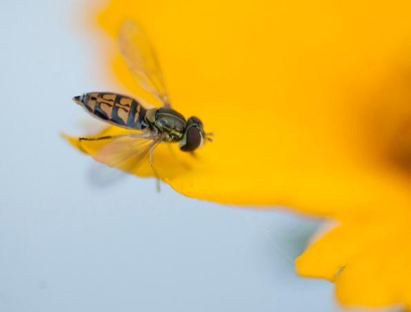 Hoverfly May 14
