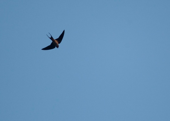 Swallow May 26