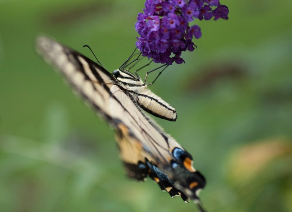 Tiger Swallowtail July 9