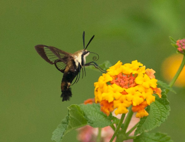 clearwing-moth-sept-9