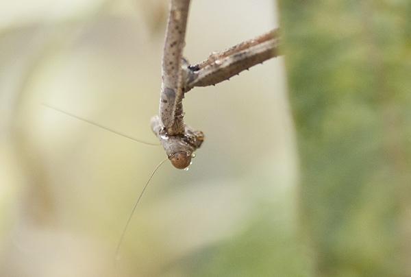 praying-mantis-august-28