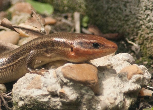 skink-august-2