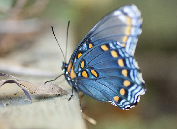 Red-spotted Purple (10/22/16)