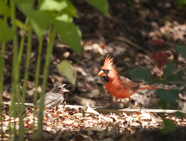 cardinal-june-7